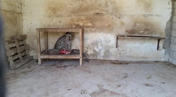Il leopardo D'Arabia si ciba del compagno morto