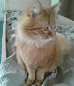 Gatto Soriano Tigrato rosso