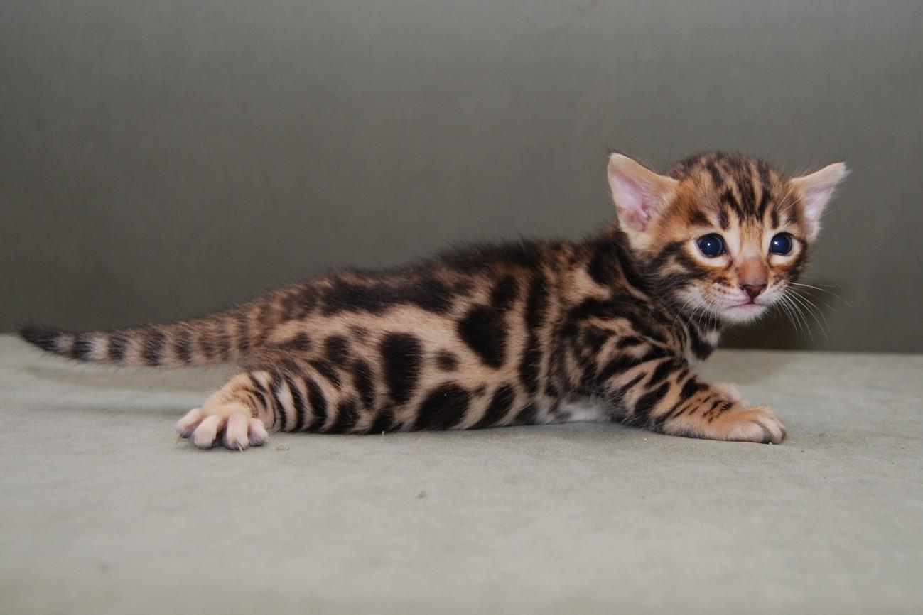 BLU, il gattino che ha viaggiato da Zanzibar a Londra (storia vera)