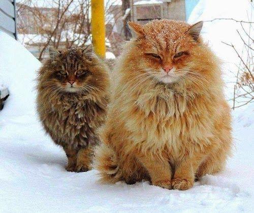 Gatto siberiano: bellissimo, affettuoso ed anallergico!