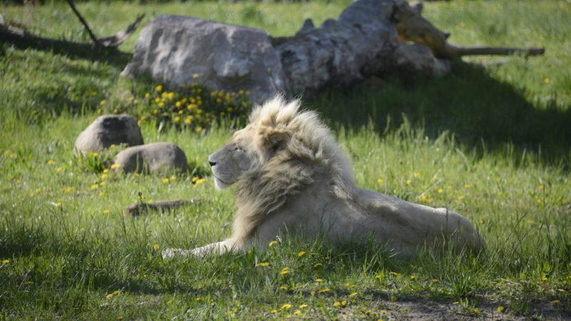 Ciao Blanco: se n'è andato il leone bianco più anziano d'Europa