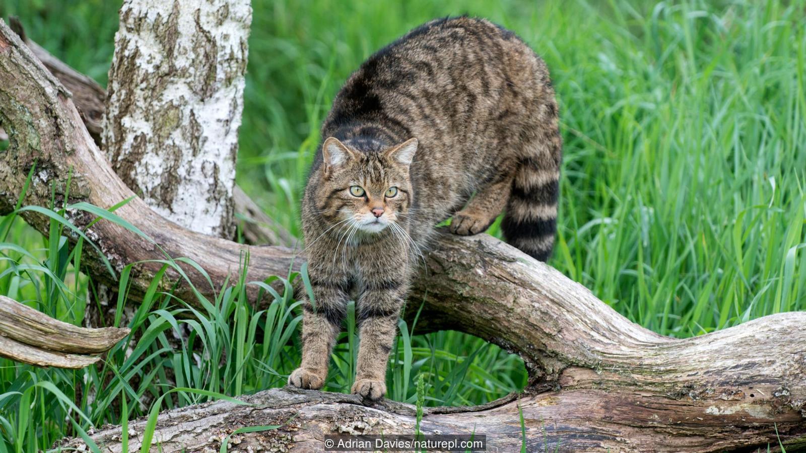 Gatto Selvatico: il vero folletto dei boschi!