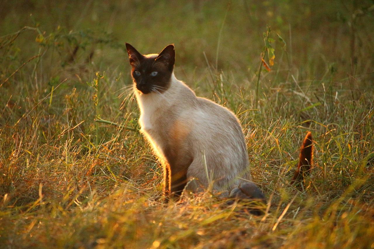 Le più antiche ed affascinati leggende sui gatti siamesi