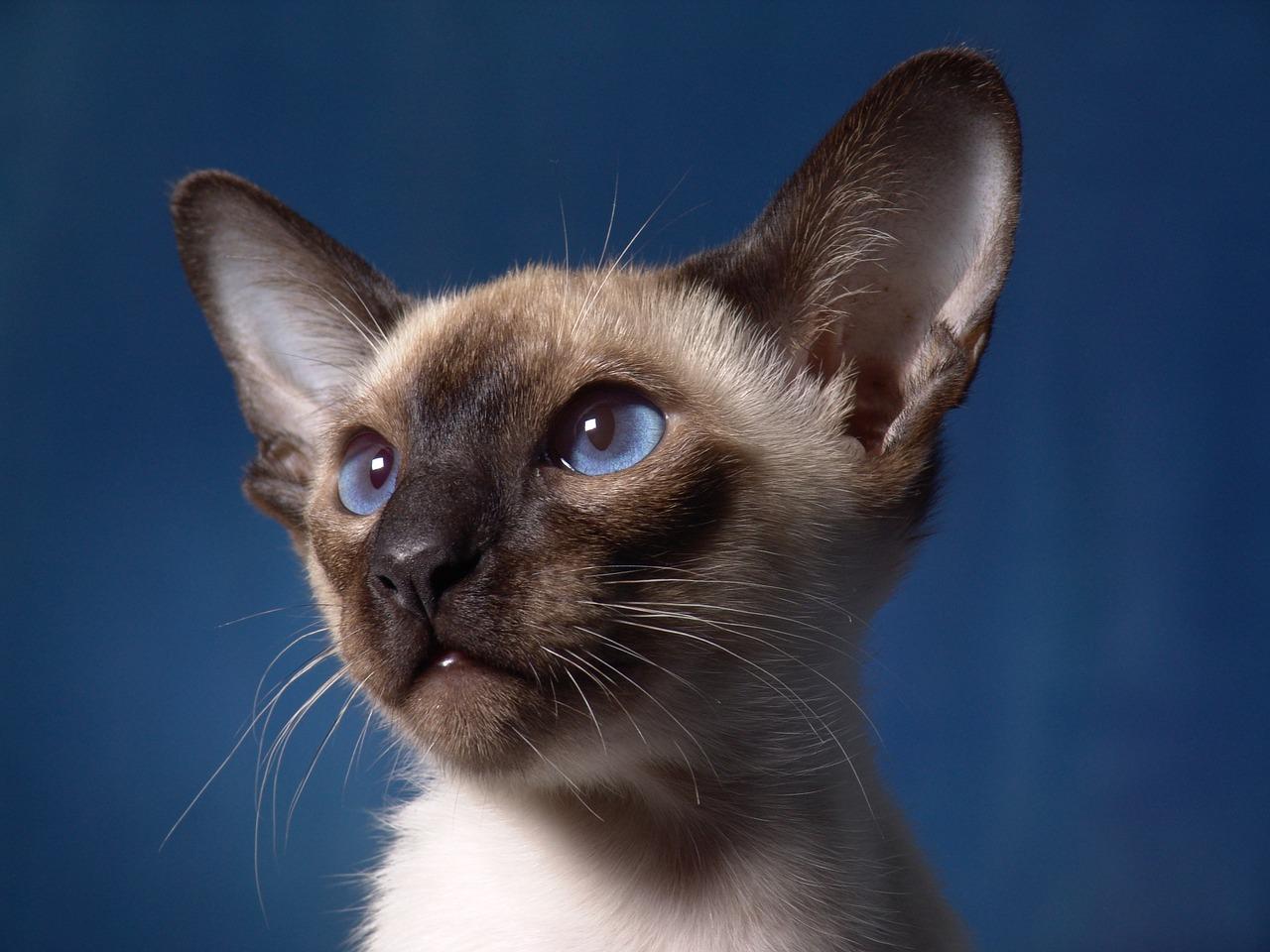 leggende sui gatti siamesi