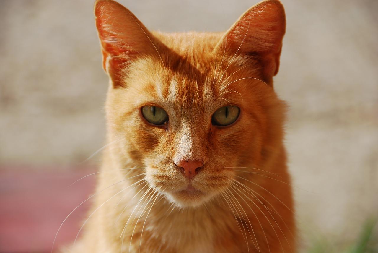 perché le gatte rosse sono rare