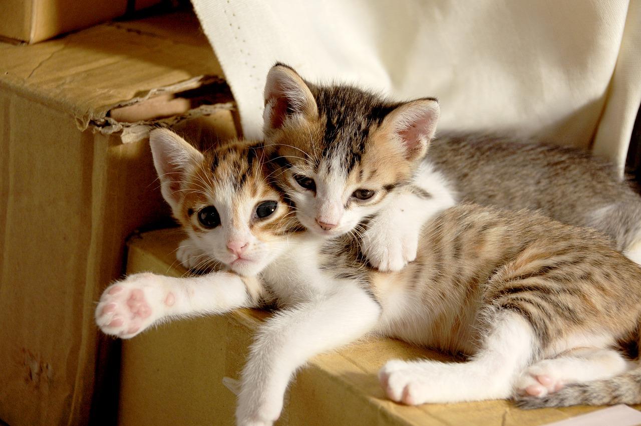 comportamento del gatto, Il gatto è o no un animale sociale?