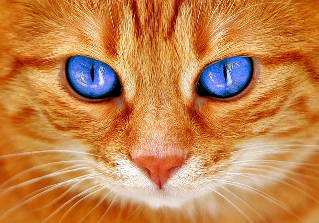 Blog gatti, gatto rosso occhi azzurri