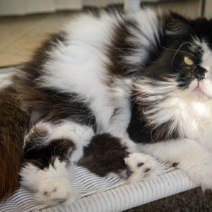 Le razze dei gatti