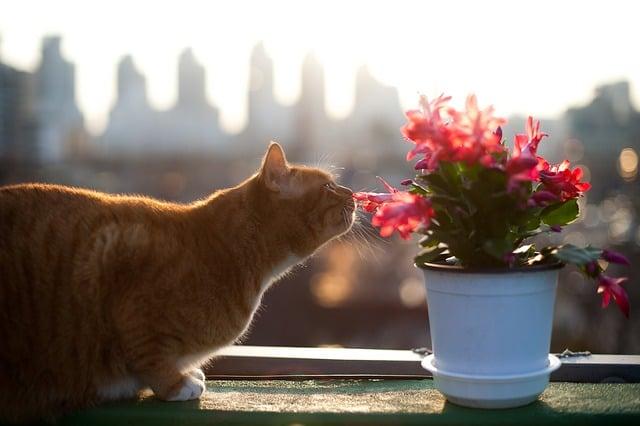 Piante tossiche per i gatti, un gatto annusa un fiore
