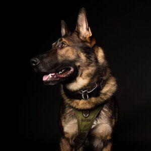 K9 Arlo, il cane poliziotto  che ha commosso il web
