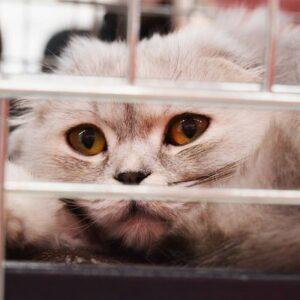 La Bartonellosi nel gatto