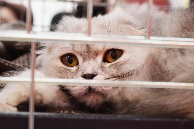 Bartonellosi nel gatto, un gatto convalescente