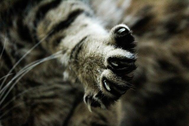 Graffio di  gatto: cosa fare e quali malattie si possono (difficilmente) contrarre