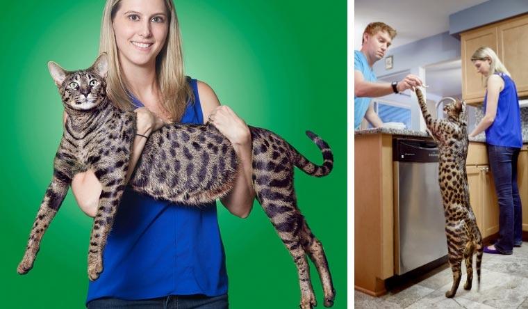 Gatti da guinness dei primati, il gatto più alto