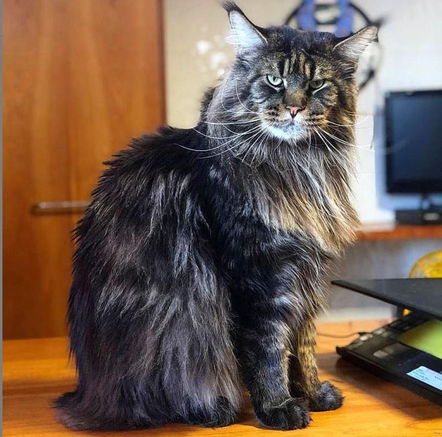 Gatti da guinness, Barivel il gatto più lungo del mondo