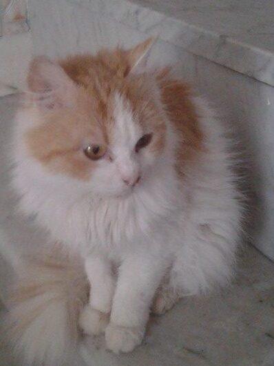 Bibi, dolcissima gattina bianca e rossa