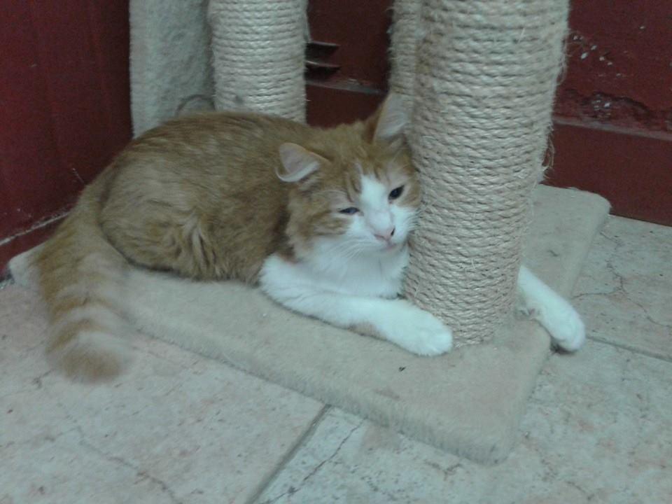 Foto Gatti rossi, Clim, sulla schiena tutto rosso e bianco sul pancino