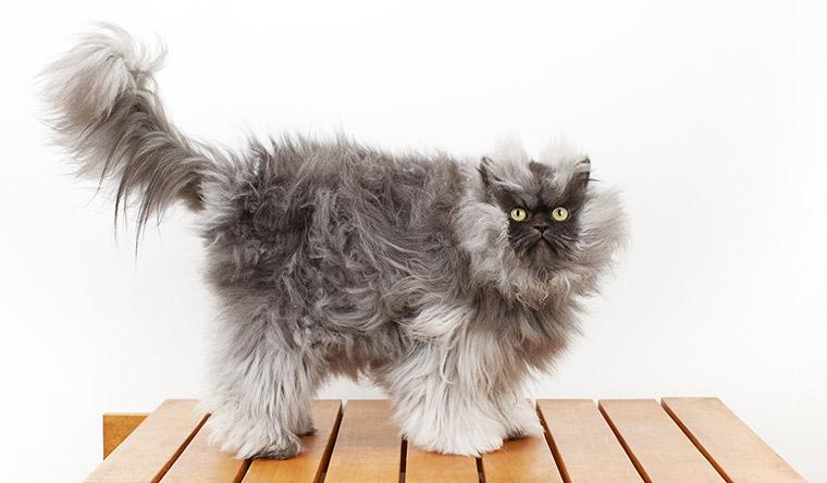 Colonello Meow, uno dei gatti con il pelo più lungo