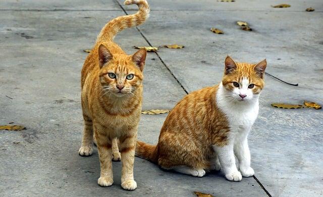 Coppia di gatti rossi , sognare gatti può avere vari significati, positivi o negativi a seconda del rapporto che il sognatore ha con loro