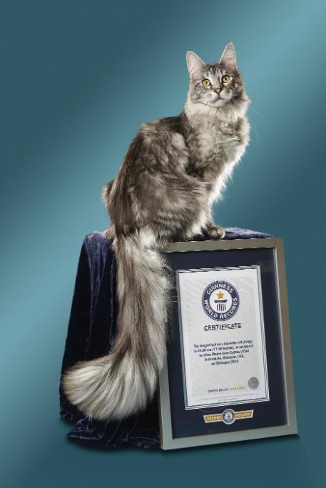 Gatti da Guinness dei primati, Cygnus, il gatto dalla coda più lunga del mondo