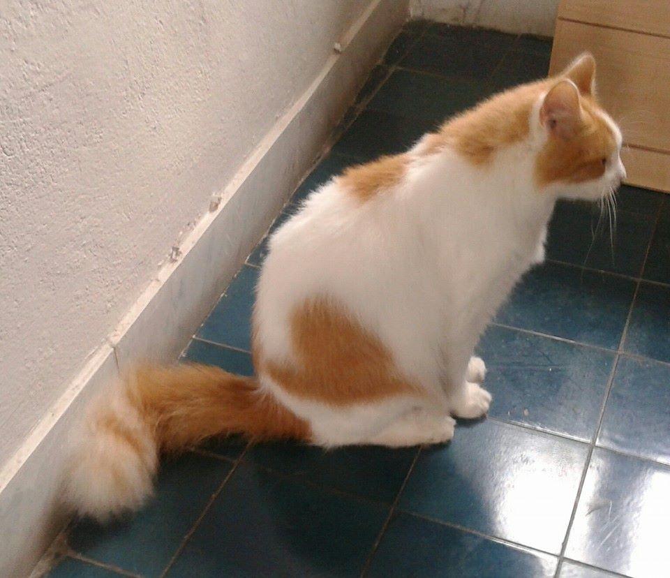 Foto gatti rossi, Figaro bianco e rosso con cuore rosso sul fianco