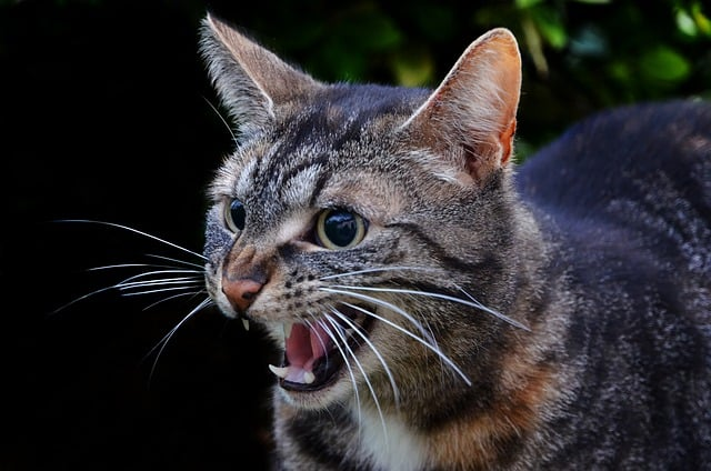 Gatto aggressivo, sognare gatti aggressivi simboleggia rabbia soffocata