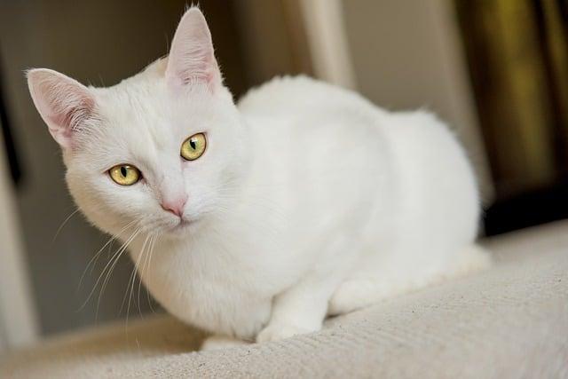 Gatto bianco, sognare gatti bianchi simboleggia purezza