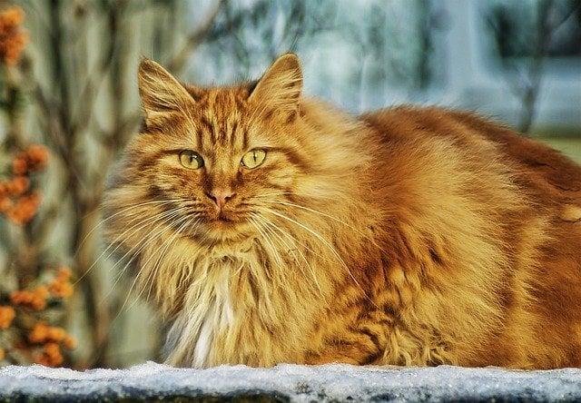 I love red cats, galleria fotografica dedicata ai gatti rossi