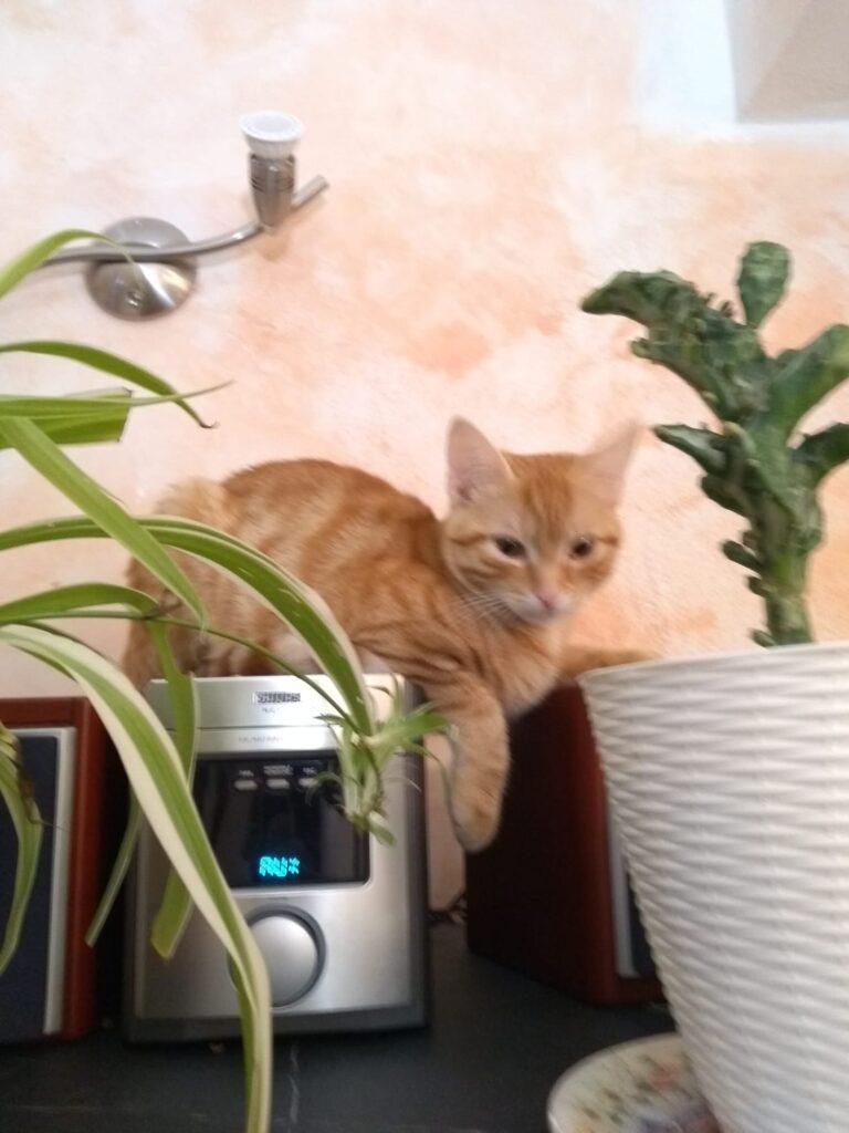 Ginger, gattina rossa tigrata