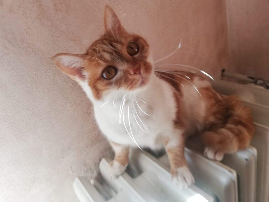 Lilly gattina bianco e rossa su termosifone