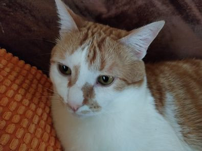 Mandarino, un bel gatto bianco e rosso