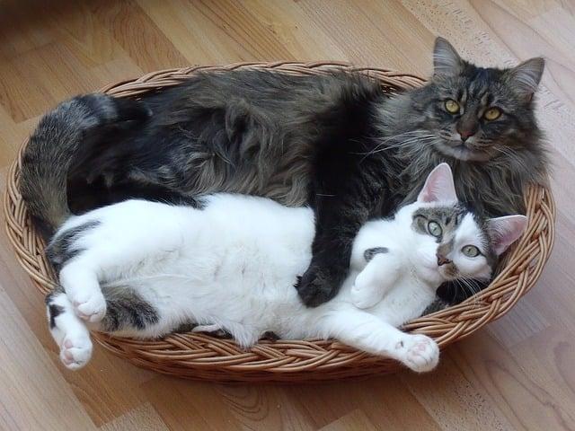 Gatto Maine Coon abbraccia un gatto soriano, il maine Coon è molto affettuoso