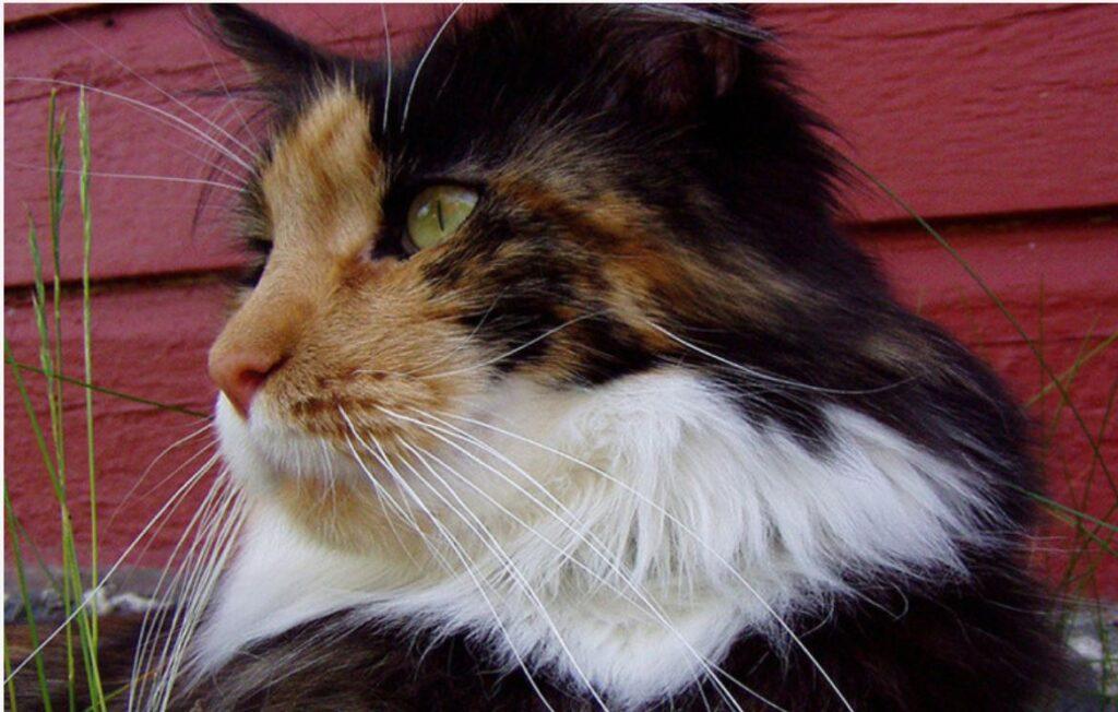 Gatti da guinness, Missi la gatta dalle vibrisse più lunghe