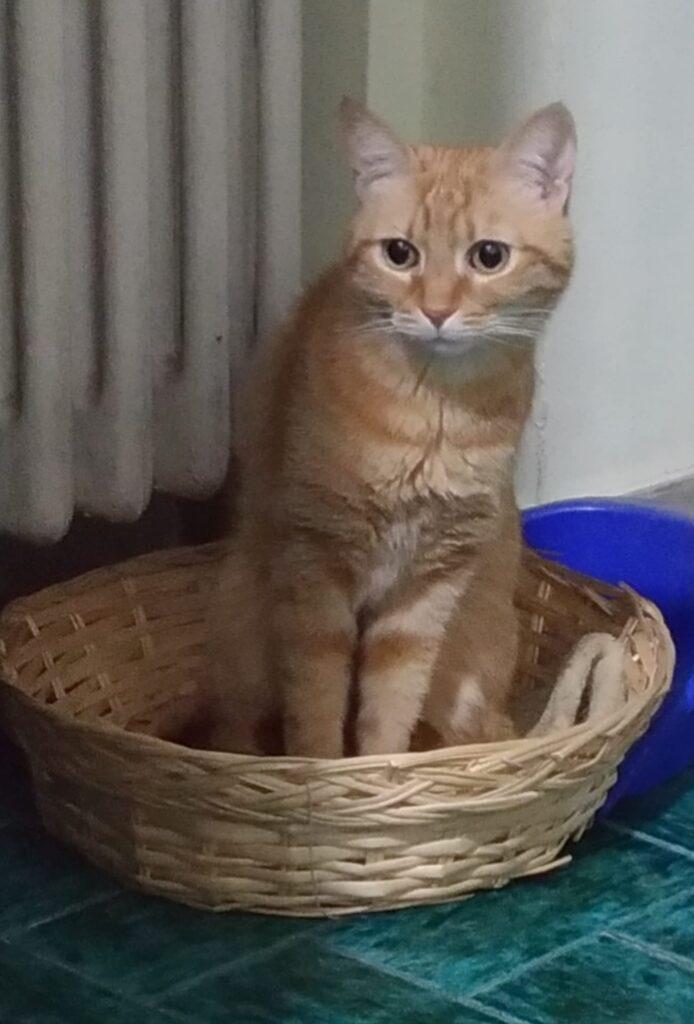 foto gatti rossi, Nemo gatto rosso in una cesta