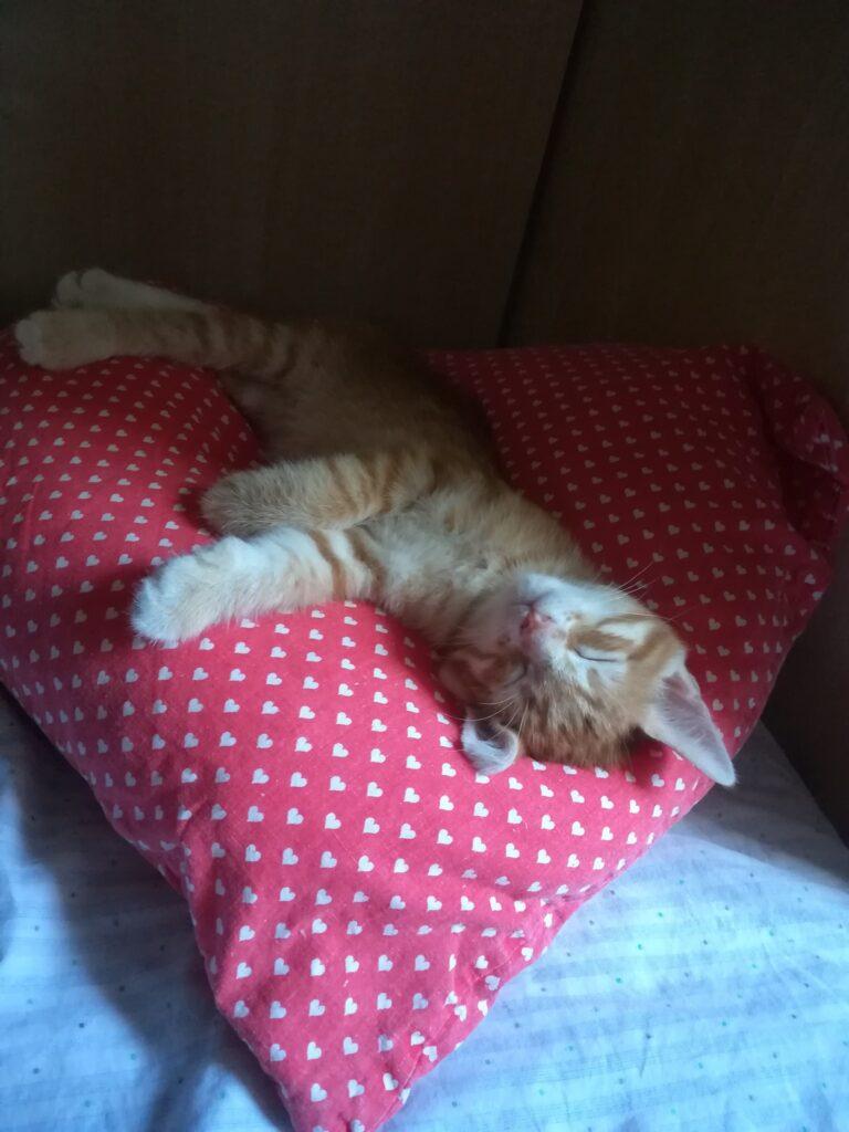 Pinko, cucciolo di gatto rosso