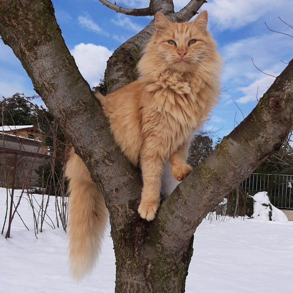 Foto gatti rossi,  Ramon gatto rosso spettacolare