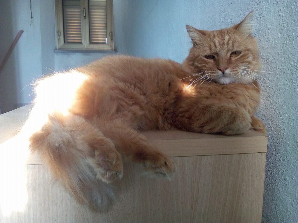 Foto gatti rossi, Renny micione tutto rosso