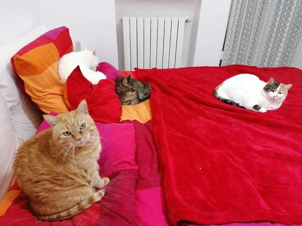 foto gatti rossi , bellissima femmina