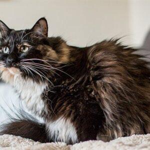 La storia della gatta dal pelo più lungo del mondo