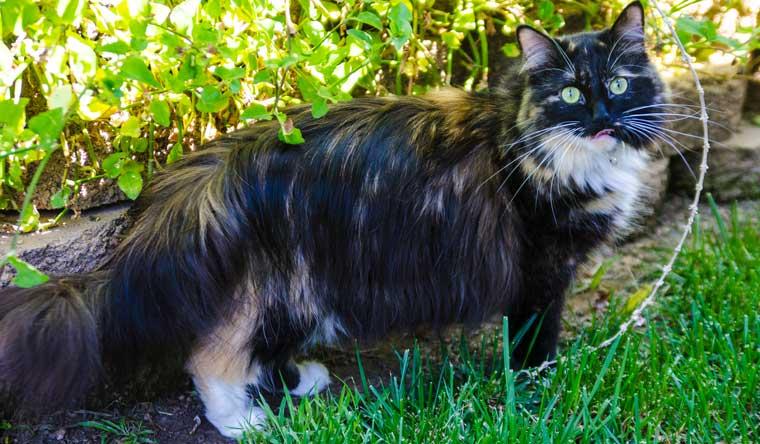 gatti da guinness dei primati, Sophie Smith la gatta dal pelo più lungo