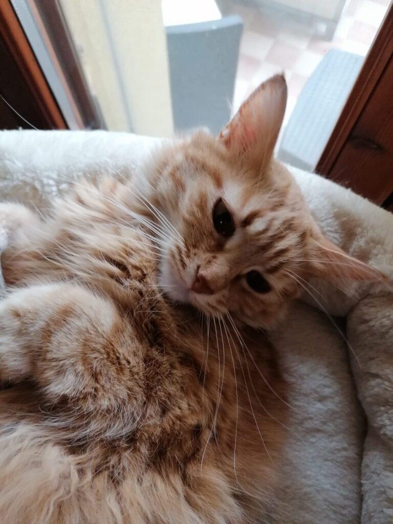 foto gatti rossi Zoe, bellissima gatta rossa
