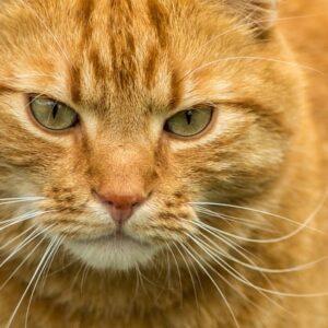 Gatto rosso: curiosità e caratteristiche