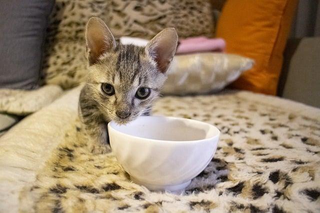 Alimentazione gattini, un gattino tigrato che mangia