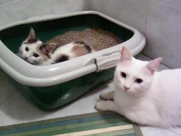 Gattino in lettiera ed un gatto adulto al suo fianco, i gattini imparano anche da altri gatti ad  abituarsi alla lettiera