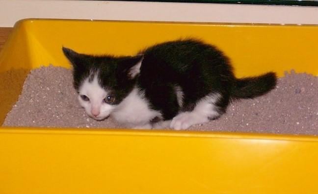 Costipazione nei gattini, spesso quando presentano questo problema i gattini si posizionano nella lettiera e piangono