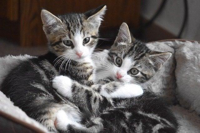 Come capire il sesso dei gattini in tre modi