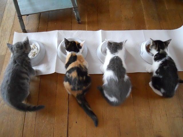 Svezzamento gattini, gattini che mangiano dalla ciotola