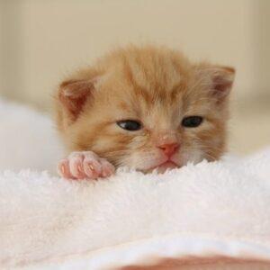 Le pulci nei gattini: come capire se le hanno e come trattarle