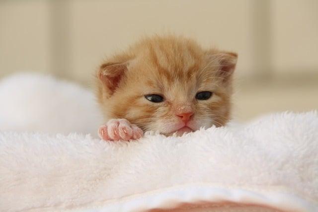 Gattino rosso, le pulci nei gattini sono molto pericolose