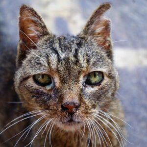 Fip gatto, peritonite infettiva felina: cause, sintomi e prevenzione